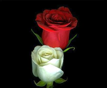 White and red embroidered roses
